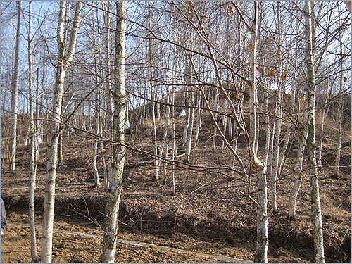자작나무 수액 몸뚱이가 하얀 아름다운 자작나무숲