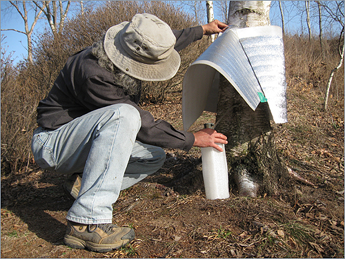 자작나무 수액 산림청 연구결과 자작나무 수액은 햇볕에 노출되면 1일 정도 지나면 변질되고, 고로쇠는 상온에서 15~20일 정도라고 합니다