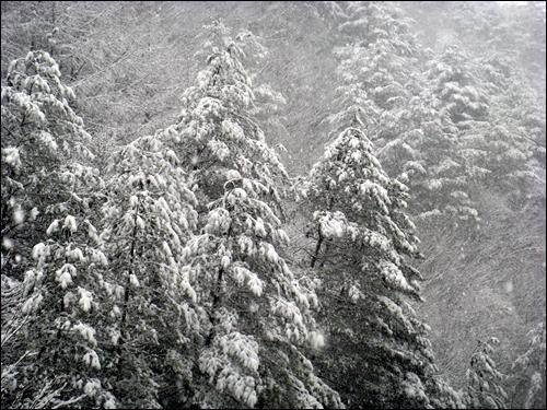 삶의 무게 눈의 무게를 이겨내지 못한 가지가 부려졌습니다. 백성도 살기 힘들면 나무처럼 부러질 날이 옵니다
