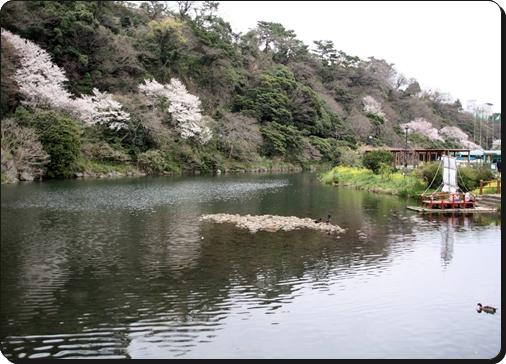 천지연 폭포 입구 맑은 호수와 산벼랑에서 활짝 핀 벚꽃