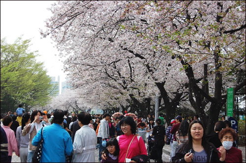 12일 벚꽃 축제를 즐기기 위해 많은 사람들이 여의도 윤중로에 모였다.