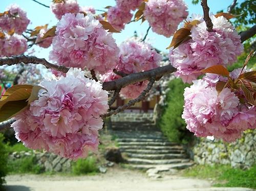 겹벚꽃 또는 왕벚꽃은 주먹만한 크기에 색깔도 곱고 참 탐스럽습니다.