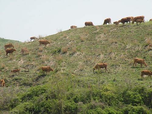 우적우적 소리를 내며 맛잇게 식사를 하는 소들과 목장의 풍경이 참 목가적입니다.