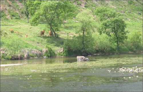 섬진강변에서 자란 풀로 배를 채운 소들이 되새김질을 하며 쉬고 있다.