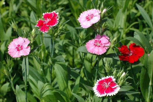 석죽 일명 패랭이 꽃이라 불리는 석죽. 이날 나누어준 꽃은 6천본. 약 3천명에게 2본씩의 꽃을 무료로 나누어 주었다.