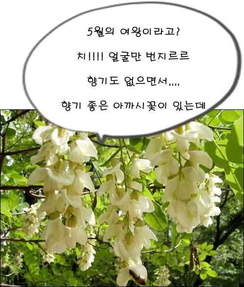 향기 짙은 아까시(아카시)꽃