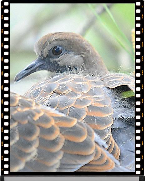 둥지를 지키고 있는 새끼 멧비둘기