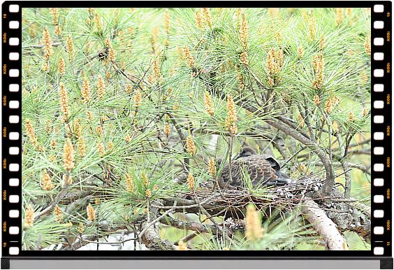솔잎에 가려 잘 눈에 띄지 않는 새끼 멧비둘기 한쌍