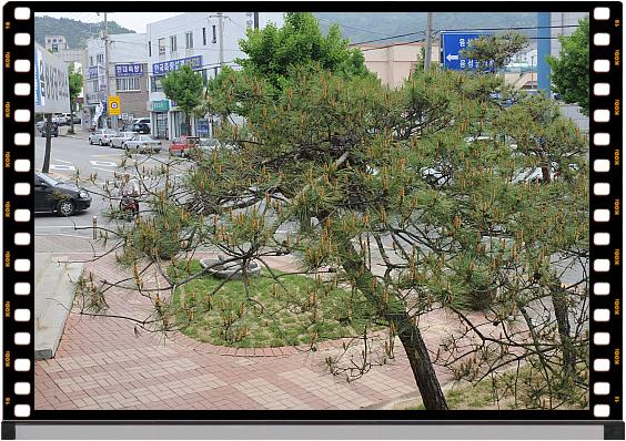 멧비둘기 새끼 한쌍이 자라고 있는 소나무