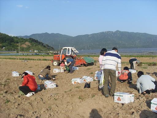 물금 모래감자밭 어디서 이렇게 많은 사람들이 온 것일까...감자수확을 끝낸 뒤, 감자밭에서 감자를 캐는 사람들...