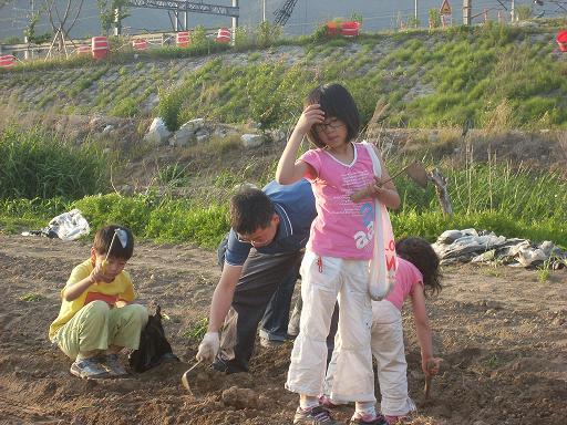 물금 모래감자... 모래흙을 호미로 뒤적이며 감자캐는 조카들...