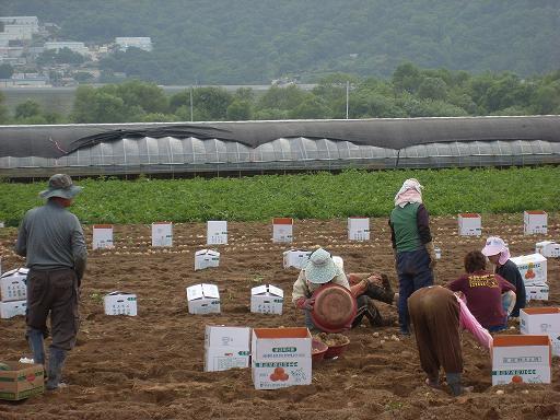 물금모래감자... 감자수확하는 사람들...