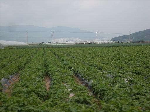 물금모래감자... 아직 수확하지 않은 감자밭...