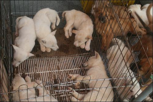 유성 5일장 가축전의 강아지들, 잠자고 있는 모습이 귀엽다