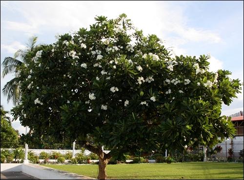 샤넬 5 향수의 원료로 쓰이는 깔라취취 나무 꽃