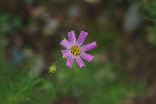 우주를 담고 있는 꽃 코스모스