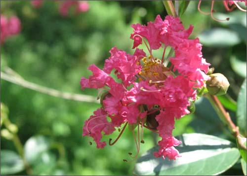 목백일홍. 한여름 태양에 맞서는 정열적인 꽃이다.