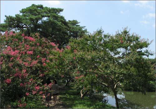 목백일홍이 피기 시작한 명옥헌원림. 전남 담양군 고서면 후산마을에 있다.