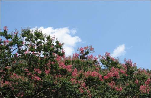 한여름 태양에 맞서고 있는 목백일홍. 파란 하늘과 하얀 구름이 어우러져 멋스럽다.