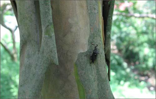 고목이 된 배롱나무 기둥. 곤충이 허물을 벗듯 오래된 껍질을 벗고 있다.