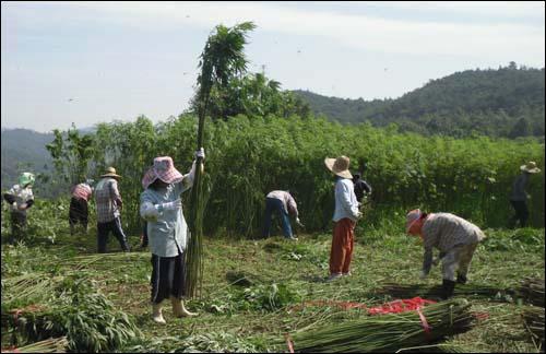 전남 보성의 아낙들이 다 자란 삼(대마)을 수확하고 있다. 앞에 선 아낙은 수확한 삼의 이파리 제거작업을 하고 있다. 지난 7월 말에 찍은 모습이다.