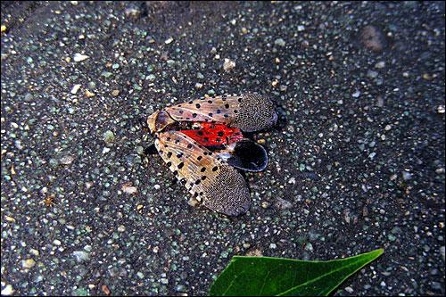 여의도 녹지과의 방제작업 현장. 꽃매미가 죽어 바닥에 떨어졌다.
