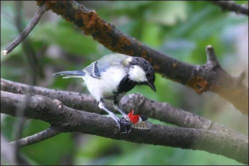 박새가 꽃매미를 잡아먹는 모습