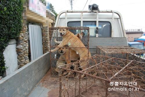 진도 마을을 돌며 개를 사는 업자의 트럭. 이 개들의 목에는 목줄이 달려있어 바로전까지 누군가의 반려견이라는 사실을 알 수 있다.