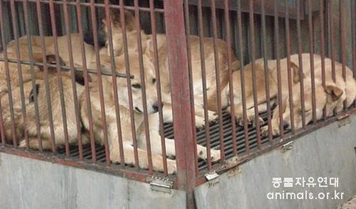 한 재래시장 진열장에서 발견한 개들. 진도개와 다르지 않은 외모를 가지고 있다.