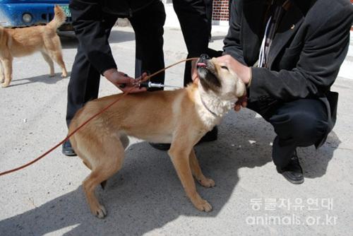 기준에 적합하다고 판명된 개들은 등록에 필요한 칩이 주입된다.