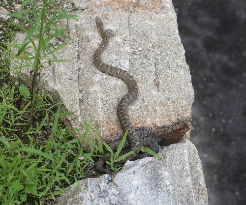 달아나는 뱀 방해꾼이 나타나자 슬며시 자리를 뜬다.바위 틈새에는 연한 색을 지닌 뱀이 그대로 있다.