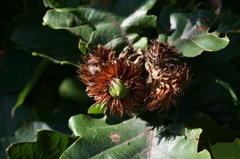 풍성한 가을의 열매, 토실토실 익어가는 도토리 다람쥐들과 청설모들이 좋아하는 도토리 열매들을 요즘 산에서 찾아보기 힘들다고 한다.