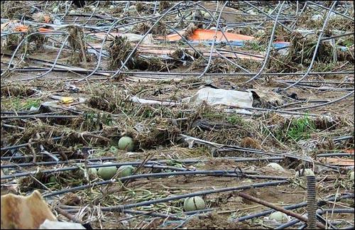 수재로 메론밭이 망기진 병암마을 농민들이 힘써 가꾼 메론밭이 수재로 다 망가지고, 하우스 기둥까지 휘어 못쓰게되었습니다. 수재의 규모를 짐작케합니다.