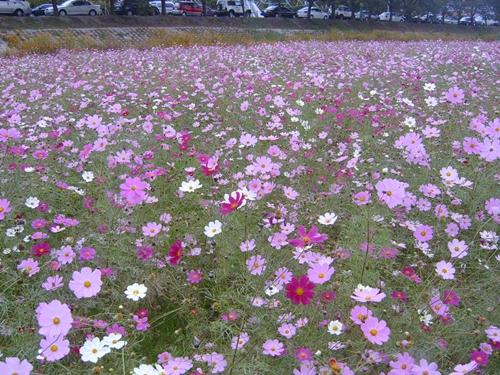 태화강과 가까운 마을 강변엔 이렇게 코스모스를 많이 심어서 한편으론 이렇게 꽃을 심기도 하고 한편으로 그렇게 환경 파괴도 일삼고... 참 인간 세상이 희안하다는 생각을 해 봅니다.