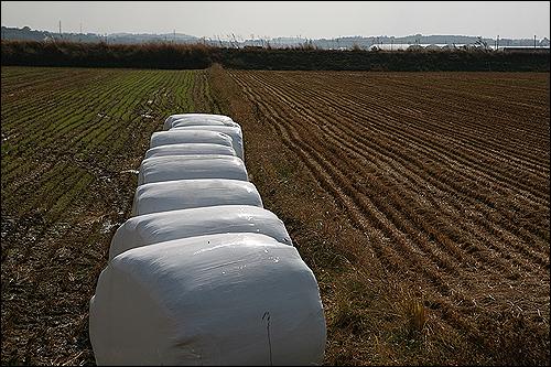 농촌 들녘엔 볏단, 볏가리 대신에 가축 사료용으로 쓰인다는 저 흰색 물체가 즐비합니다.