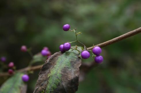 하산길에 발견한 보랏빛 열매 무슨 나무인지 보기드문 보라색 열매를 맺고 있었다.