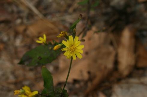가녀린 모습으로 피어난 들꽃의 노란색이 정겹다 반짝거리는 꽃집 화분 속의 어떤 것보다 이 야생화가 더 반가웠다.