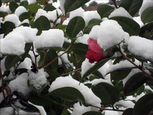 첫사랑 거제도에서 기상관측 이후로 연중 제일 빠른 눈이 내렸다. 첫눈과 동백꽃이 첫사랑을 나누고 있다.