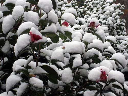 솜사탕 사랑 동백꽃은 솜사탕 같은 사랑을 나누고 있다.