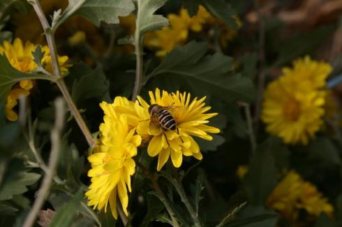 예봉산에서 드물게 발견한 꽃과 벌 올 해의 마지막 잔치를 벌이고 있는 노란꽃과 벌 한마리.