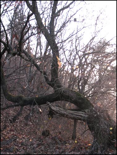서낭나무 예전 마을에서 섬기던 서낭나무. 6,25 때 포탄을 맞았다고 한다. 나무가 한편으로 쓰러져 자라고 있다,