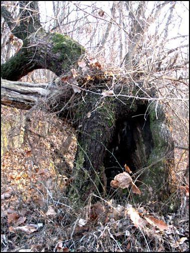 속이 빈 서낭목 수령 250년 정도로 추정하는 이 서낭나무는 속이 비어있다.