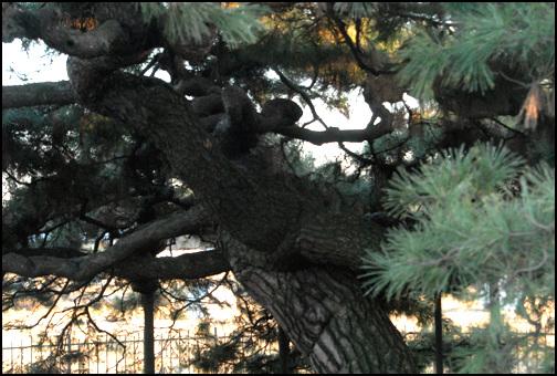 반룡송 높이 4.25m, 가슴높이의 둘레는 1.83m가 된다. 높이 2m 정도에서 가지가 사방으로 갈라졌다.