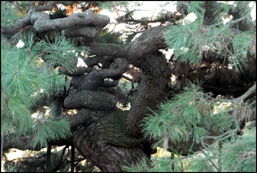 반룡송 나무에 해를 가했다가 죽었다고 전해 신비한 나무로 알려져 있다