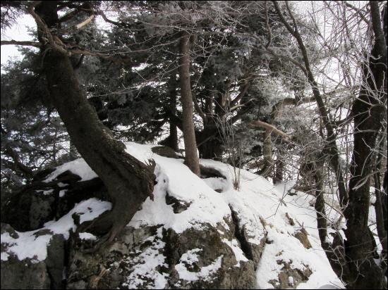 바위에 걸터 앉은 구상나무 강인한 생명력과 함께 아름다운 기품은 나무 중의 나무로 손색이 없다. 가장 아름다운 정원수로 크리스마스 트리로 쓰인다고.