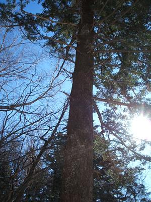 거대한 나무 오대산의 주인 나무. 대충 봐도 몇백년은 됐을 법한 모습이 웅장하다.