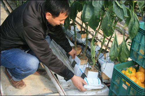 파프리카는 분쇄한 코코아껍질과 암면을 이용해 재배한다.