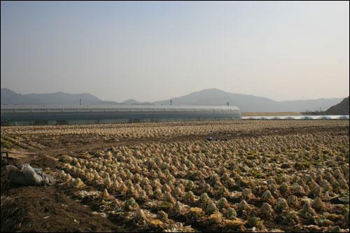파프리카 농장 곁의 배추는 지난해 김장철에 출하를 못해 방치되어 있다.