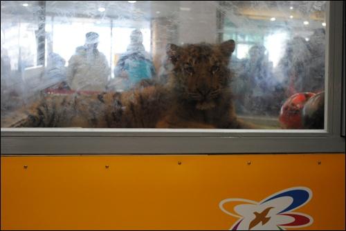 아기호랑이 아기호랑이가 노원구청 로비 아크릴관에 전시돼있는 모습