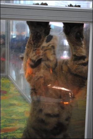 아기호랑이 호랑이가 앞발을 들어 아크릴관을 치고 있는 모습